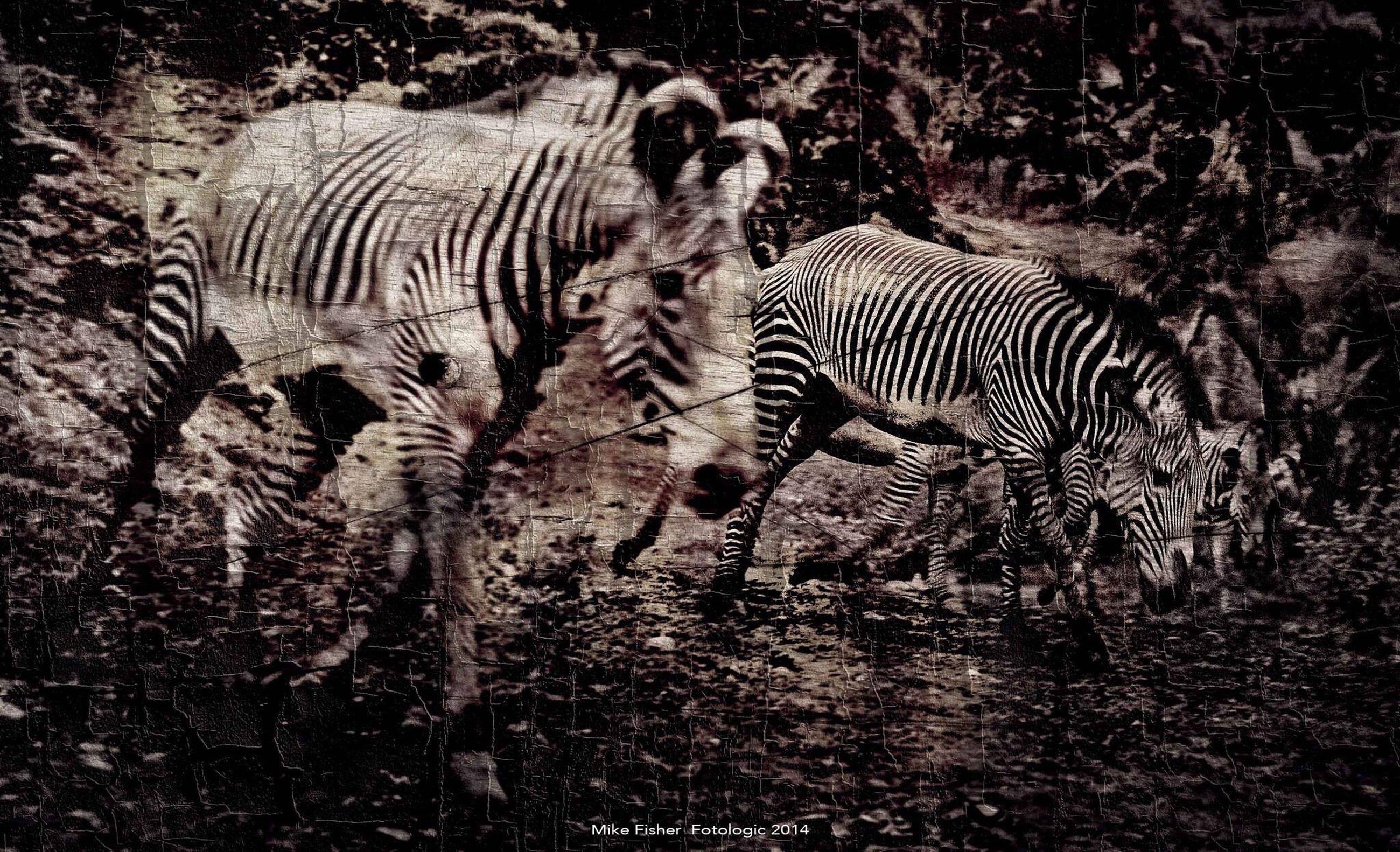 animal themes, animals in the wild, zebra, safari animals, wildlife, one animal, forest, striped, mammal, field, animal markings, nature, herbivorous, full length, two animals, giraffe, zoo, outdoors, standing, no people
