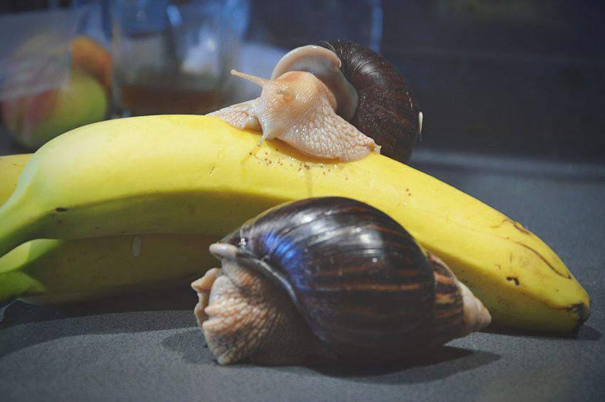 Pet Portraits Snail Snail🐌 Snails Snails🐌 Achatina Achatina Fulica Snail Collection Snail Photography