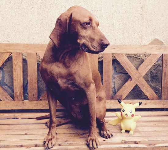 Animal Animal Themes Dog Dog Love Dogs Of EyeEm Dogslife Domestic Animals Home Sweet Home Hungarian Vizsla Magyar Vizsla Nana's Life Nature No People Pets Picachu Pokemon Go Pokémon Portrait Portrait Of A Friend Relaxation Vizsla Vizsla Life Wooden