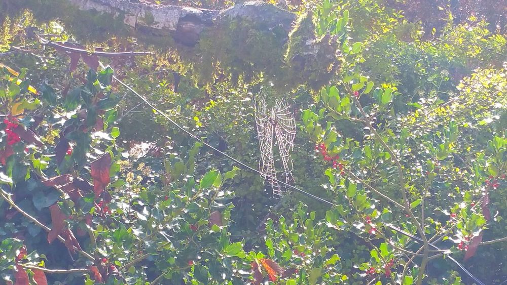 Bow-like spiderweb Spiderweb Pattern Design Arachnid Rewilding Serene Quiet Tranquility Mist Holly Tree Red Lacey Day Nature Web Lines Interwoven Outdoors Growth Home Freshness Meditation Insect Backgrounds Copy Space