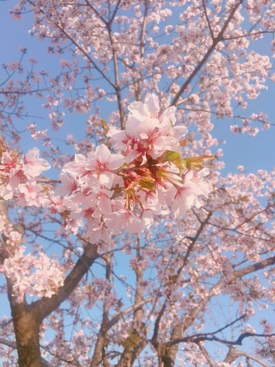 King Cherry Springtime Tree Blossom Flower Nature Pink Color Beauty In Nature Cherry Blossom Uijeongbu