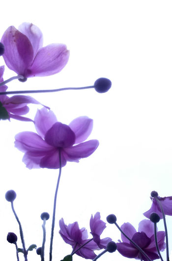 Aiming at the sky Buds Japanese Anemone Beauty In Nature Blooming Blossom Close-up Ethereal Lily Flower Flower Head Fragility Freshness Garden Photography Growth Low Angle View Nature Outdoors Overcast Sky Petal Pink Color Plant Purple Stems