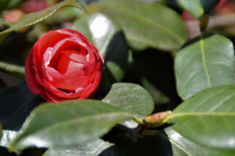 Leaf Red Flower