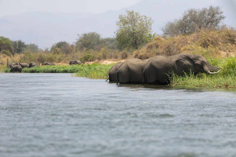 View of elephant in river