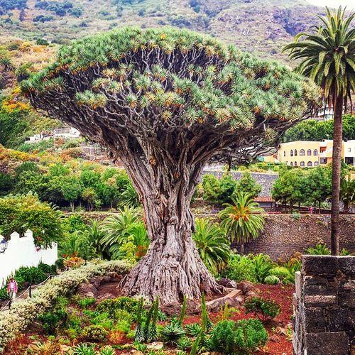 Drago árbol Parquedrago Icod Differenthings Descubrir Conocer Tree Treecollection Vegetation