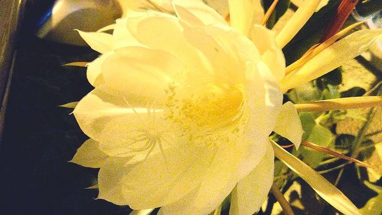 Lotus again. Lotus Flower Beautiful Nature Brahma Kamal Blossom Rare Leafs White Color Unique