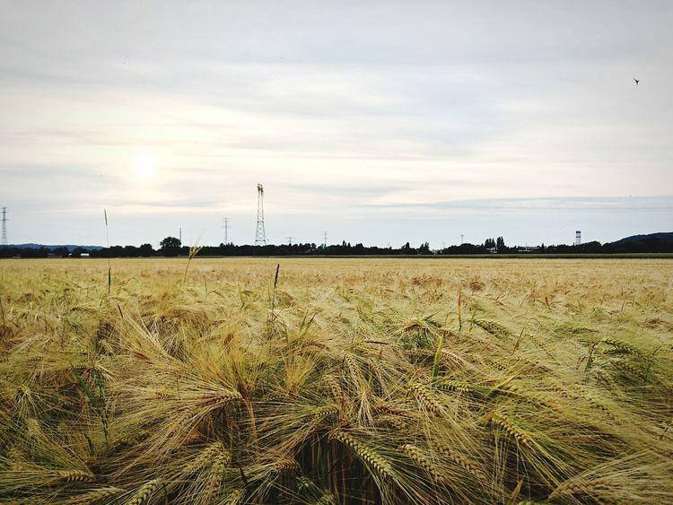 The golden fields of Barley