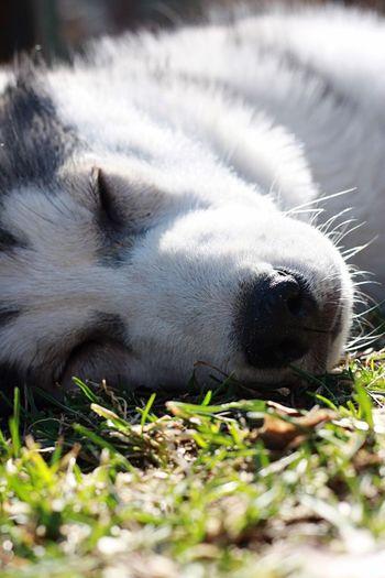 Close-up of siberian husky sleeping on grass