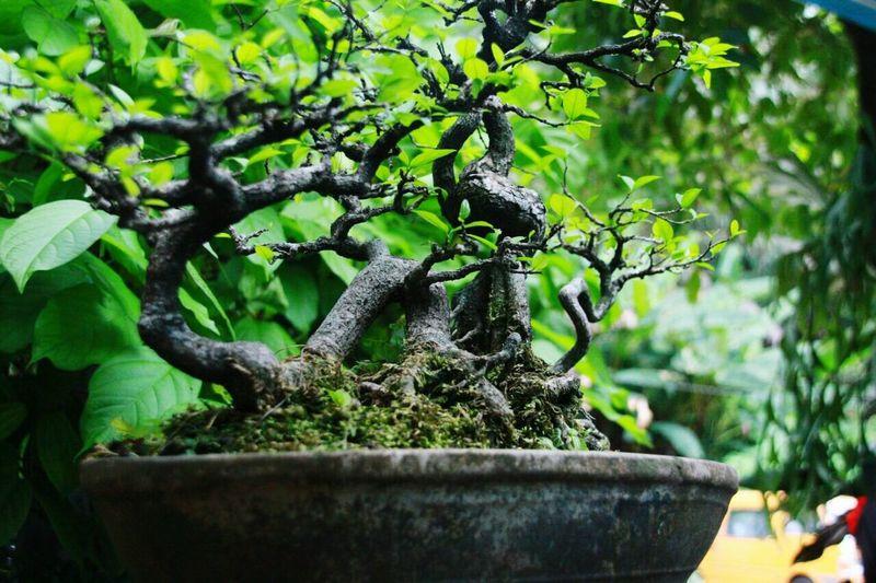 bonsai tree Plant Growth Green Color Nature Tree Day Close-up No People Outdoors Bonsai Tree Bonsai Mini