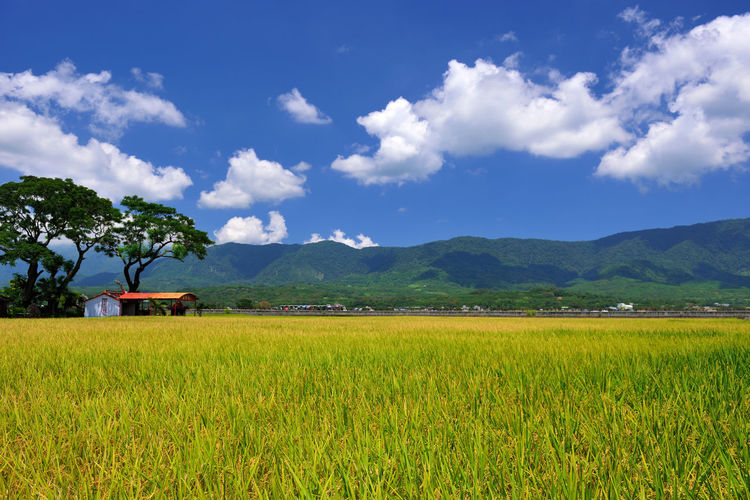 Taiwan Taitung village landscape, beautiful scenery, rice fields presents a natural beauty. Paddy Taiwan Agriculture Beauty In Nature Cloud - Sky Crop  Day Farm Field Growth Ikegami Landscape Mountain Mountain Range Nature No People Outdoors Rice Paddy Rural Scene Scenics Sky Taitung Tranquil Scene Tranquility Tree