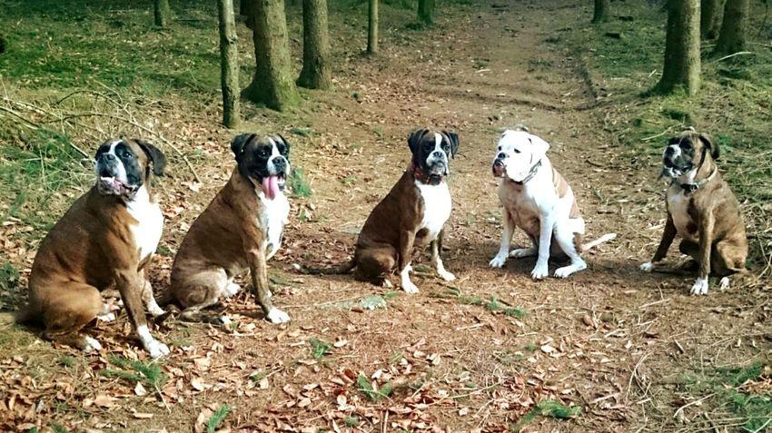 Boxer Dogs Animal Themes Dogslife Dog Brotherhood BóxerWeekend Boxerfamily