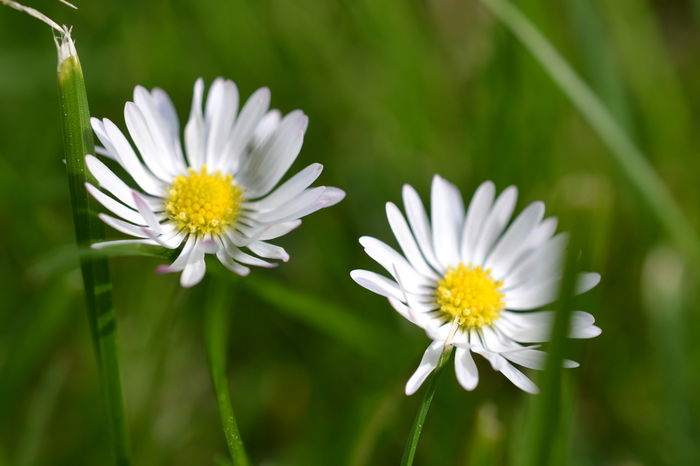 Beauty In Nature Blooming Close-up Daisies Daisy Daisy Flower Day Flower Flower Head Fragility Freshness Green Growth Just The Two Of Us Nature Nature Photography Nature_collection No People Outdoors Petal Plant Spring Flowers Springtime White Color White Flower