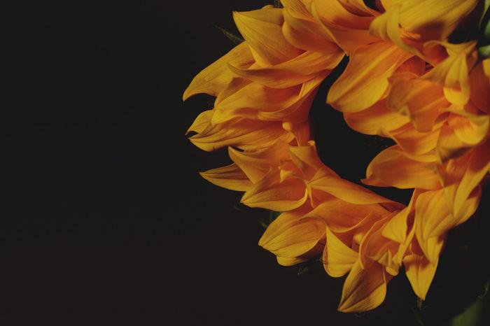 Sunflower in studio Studio Shot Flowering Plant Flower Petal Close-up Vulnerability  Black Background Beauty In Nature Fragility Flower Head Yellow Orange Color
