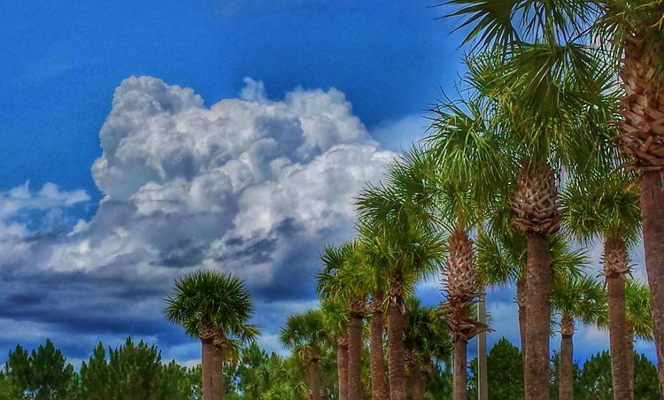 Storm Cloud Palm Trees Storm Coming Clouds And Sky outside the public pool in Sebastian, Fl Green And Blue Blue Sky Perspective Natures Diversities Fine Art Photography