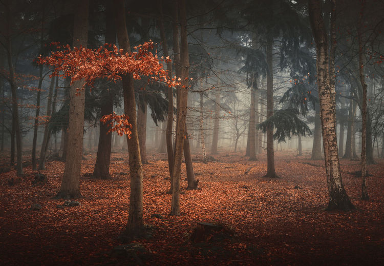 Foggy forest Autumn Beauty In Nature Day Forest Landscape Leaf Nature Outdoors Serenity Tree Tree Tree Trunk WoodLand
