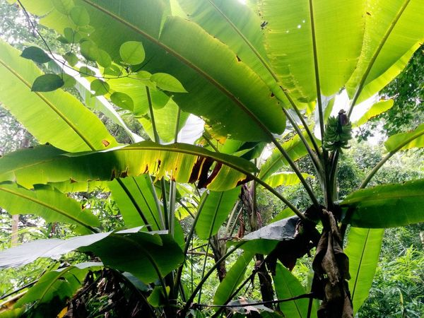 banana tree   banana tree from the jungle series 2015 Banana Leaf Banana Tree Beauty In Nature Close-up Day Frog Perspective Green Color Growth INDONESIA Jungle Leaf Low Angle View Nature No People Outdoors Palm Tree Reflections Shelter Tree