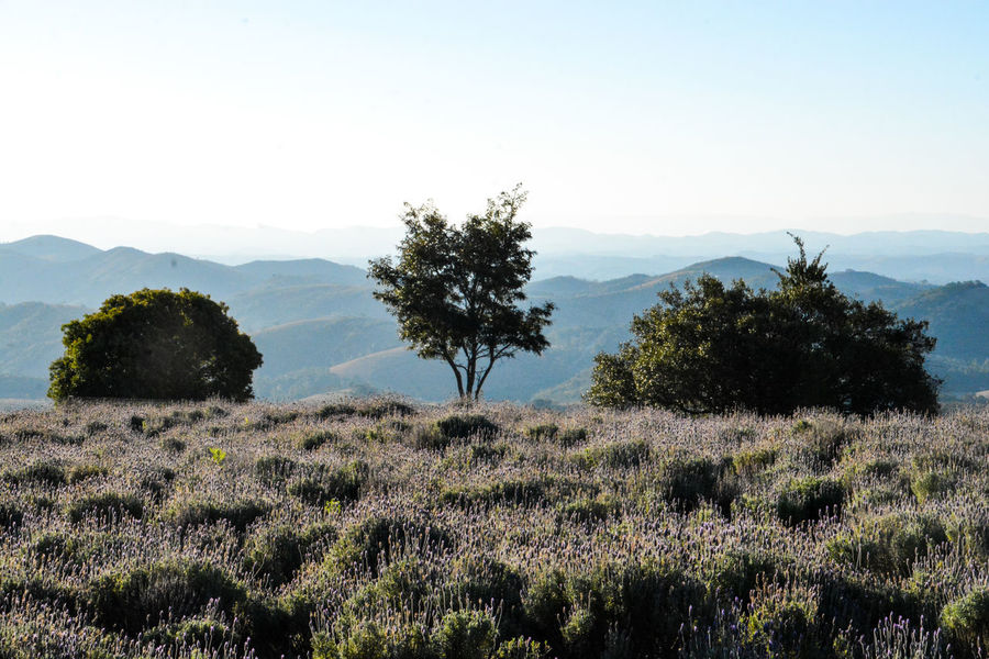 ezefer Agriculture Beauty In Nature Cunha Day Field Growth Horizontal Landscape Lavanda Lavanda Field Lavandario Mountain Mountain View Mountains Nature No People Outdoors Scenics Sky Sunset Tree