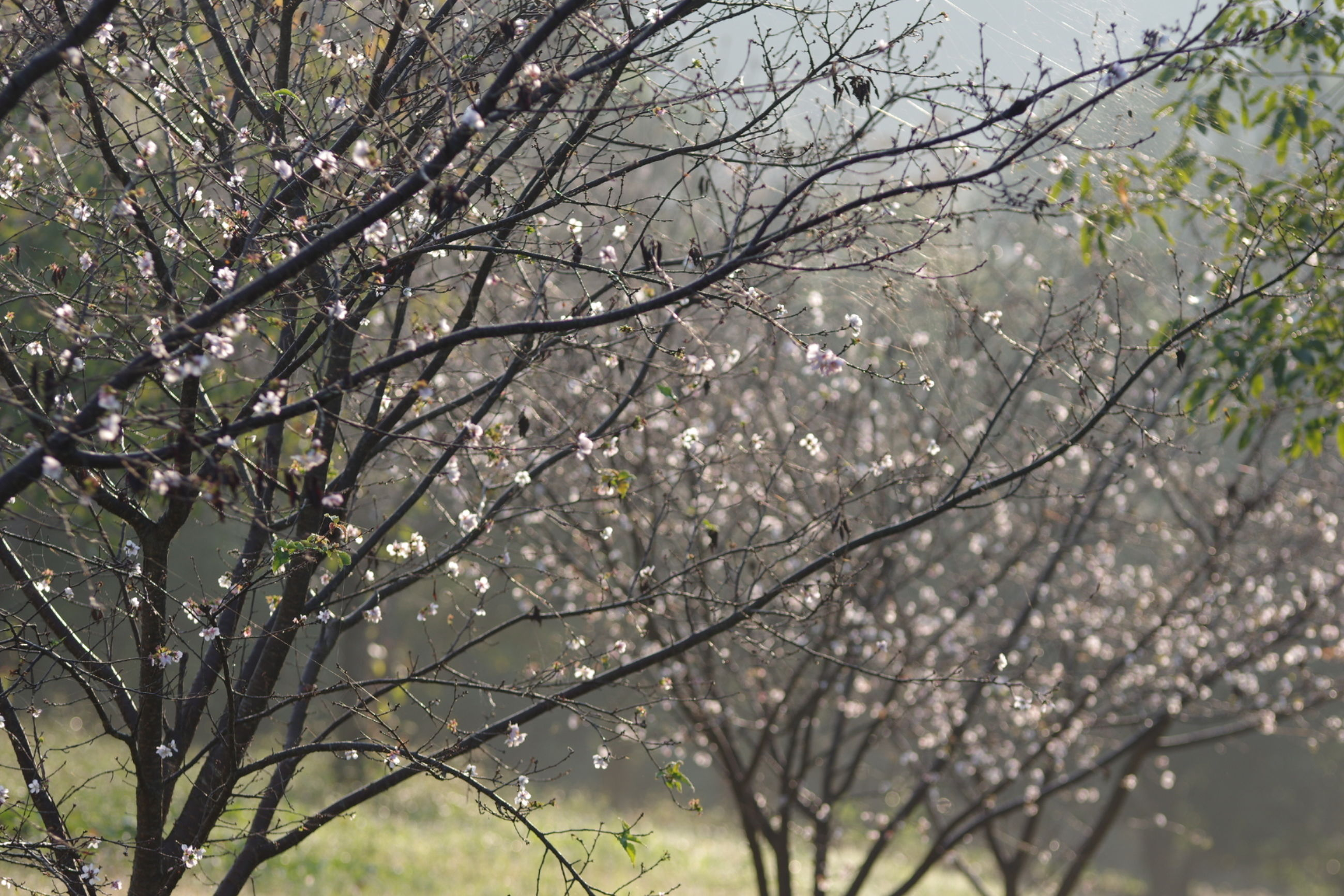 branch, tree, flower, growth, beauty in nature, freshness, nature, fragility, blossom, low angle view, pink color, tranquility, twig, outdoors, cherry blossom, springtime, day, sky, no people, scenics