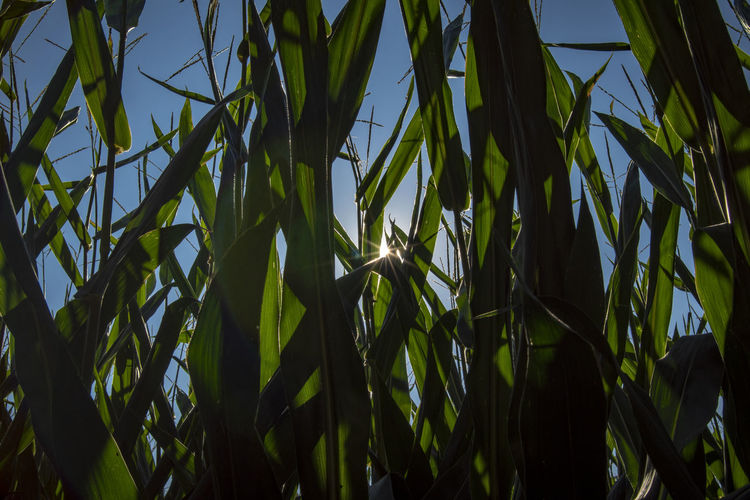 Agriculture Bamboo - Plant Beauty In Nature Blade Of Grass Cereal Plant Close-up Crop  Day Field Green Color Growth Land Leaf Low Angle View Maize Nature No People Outdoors Plant Plant Part Sky Sunlight Tranquility
