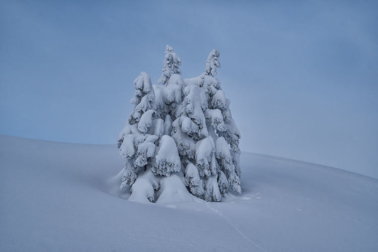 Snowcapped spruces Winter Snow Cold Temperature Nature Sky Tranquility Land Beauty In Nature Tranquil Scene No People Environment Tree Scenics - Nature Landscape Blue Day White Color Field Plant Snowing Spruce Tree Alps Tyrol Austria Winter