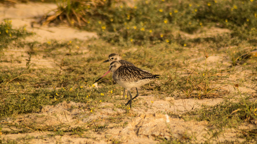 Atlantic Cape Verde Capo Verde Africa Animal Themes Animal Wildlife Animals In The Wild Beach Bird Curlew Day Field Full Length Grass Nature No People One Animal Outdoors Plant Sun