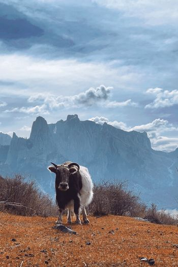 View of a sheep on landscape against mountain range