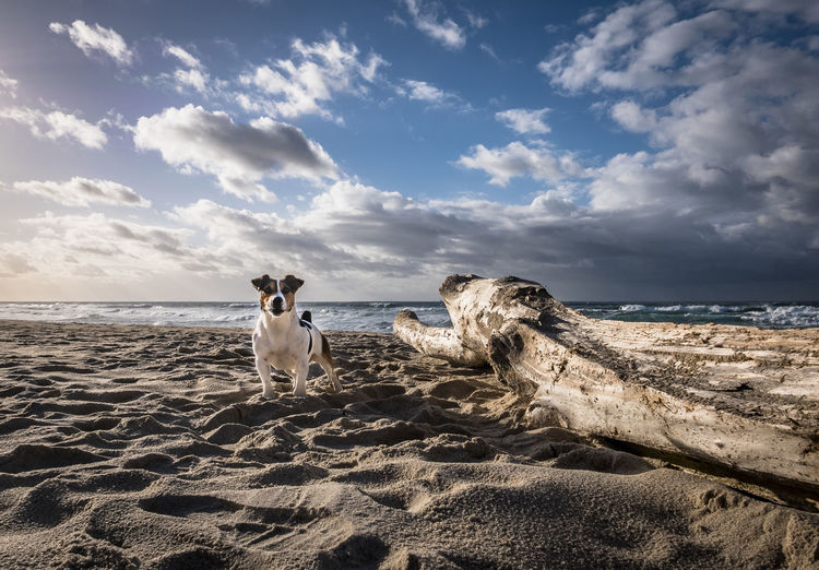 Jack russel on beach against sky