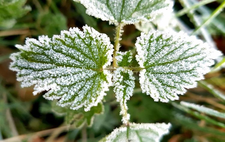 Frost Crystal. No People Close-up Outdoors Day Beauty In Nature Nature Cold Temperature Plant Growth Frozen Environment Green Color Ice Frosty Leaves