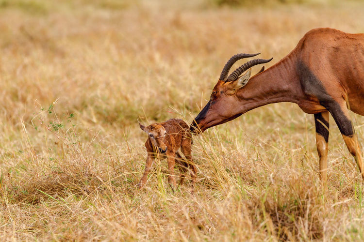 Aroundtheworld Gazelle Kenya Masai Mara New Born Animal Themes Animal Wildlife Animals In The Wild Antelope Beauty In Nature Grass Just A Few Minutes Old Mammal Nature Outdoors Safari Animals Topi Two Animals