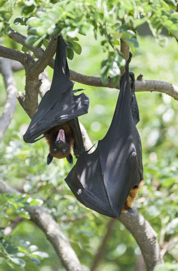 Foxbats in Thailand ASIA Bat Natural Nature Thailand Animal Animal Themes Animal Wildlife Animals In The Wild Bat - Animal Black Color Day Forest Fox Fox Bat Foxbat Fruit Green Color Hanging Mammal Nature No People One Animal Outdoors Tree