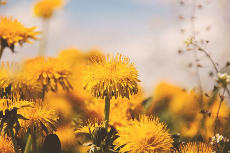 Close-up of dandelion flower in field
