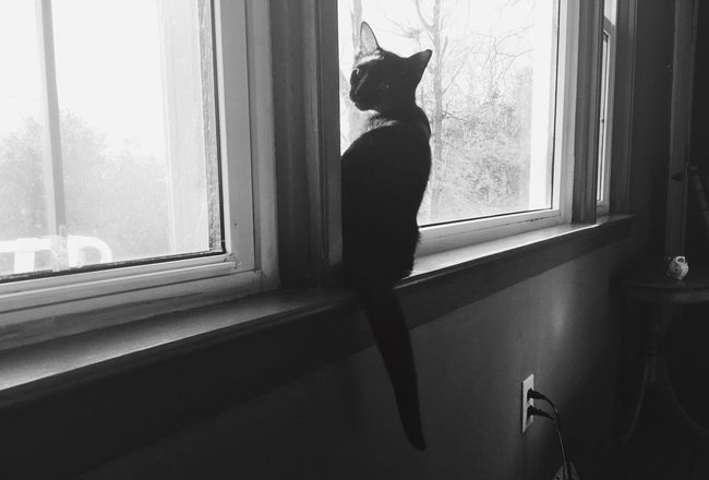 Cats Window One Person Full Length Indoors  Looking Through Window Window Sill Standing Domestic Cat Pets Mammal Clementine Cute Cute Pets Kittens BLackCat