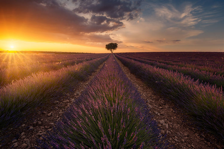 Lavender fields in Guadalajara (spain) Agriculture Beauty In Nature Cloud - Sky Dramatic Sky Field Flower Horizon Over Land Landscape Lavender Nature No People Plant Purple Rural Scene Sky SPAIN Summer Sun Sunset The Great Outdoors - 2017 EyeEm Awards Tranquil Scene Tranquility