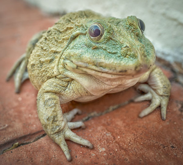 Big green toad BIG Toad Amphibian Animal Animal Eye Animal Head  Animal Scale Animal Themes Animal Wildlife Animals In The Wild Close-up Eye Focus On Foreground Frog Looking Nature No People One Animal Outdoors Reptile Slimy Slippery Solid Vertebrate Webbing Of Feet