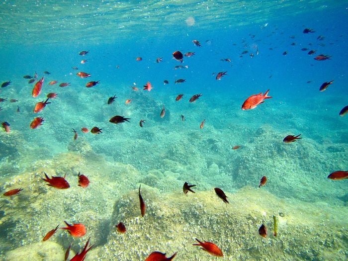 Flock of red fish swimming in the sea