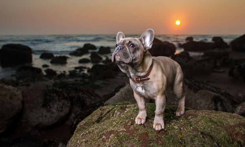 Low angle view of dog on beach at sunset