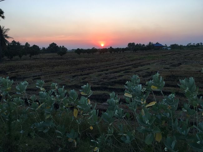 Agriculture Sunset Field Rural Scene Growth Nature Beauty In Nature