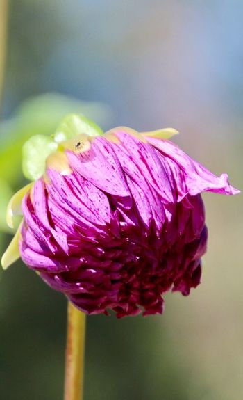 Beauty In Nature Not Quite A Flower dahlia bud Close-up Purpleish-pink Color Focus On Foreground