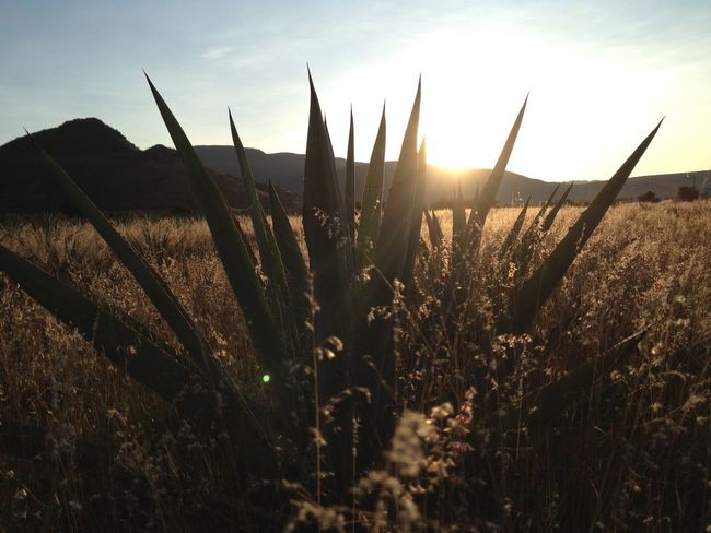 Agave Back Lit Beauty In Nature Field Fragility Grass Growing Growth Landscape Mezcal Mountain Nature Non-urban Scene Outdoors Plant Scenics Sky Sun Sunbeam Sunlight Sunset Tall - High Tranquil Scene Tranquility Uncultivated