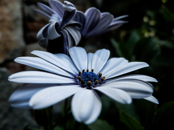 Close-up of blue osteospermums blooming at park