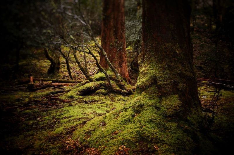 The Enchanted Walk at Cradle Mountain, Tasmania Forest Nature Tranquility Tree Moss Tranquil Scene Tree Trunk Beauty In Nature No People Growth Day Green Color Outdoors Scenics Cradle Mountain Tasmania The Great Outdoors - 2017 EyeEm Awards