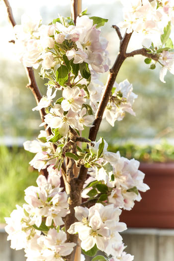 Balkon Beauty In Nature Blossom Cherry Blossom Cherry Tree Close-up Day Flower Flower Head Flowering Plant Focus On Foreground Fragility Freshness Growth Inflorescence Nature No People Outdoors Petal Plant Springtime Tree Vulnerability  White Color
