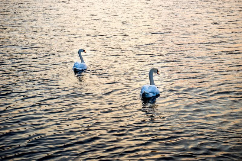 Two Mute Swans In Lake