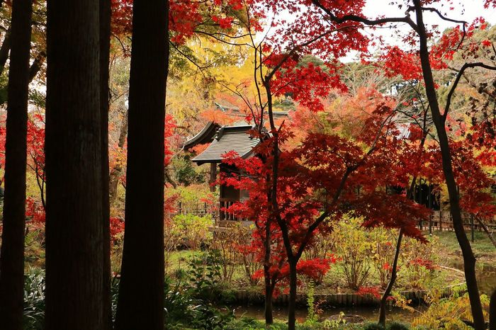 Tree Autumn Plant Japan Landscape Japanese Temple Red Color Green Maple Tree Maple Leaf Autumn Leaves Leaves And Colors Red Beauty In Nature Autumn Tree