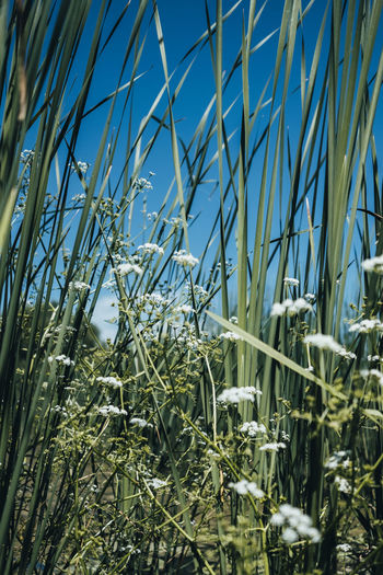 Plant Growth Nature Beauty In Nature Sky Day No People Land Tranquility Blue Field Green Color Grass Close-up Sunlight Outdoors Clear Sky Selective Focus Agriculture Crop  Blade Of Grass Bamboo - Plant
