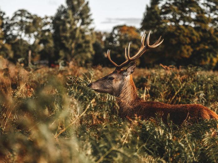 Deer gazing in a field