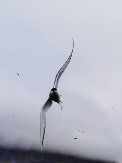 Low angle view of arctic tern flying in sky