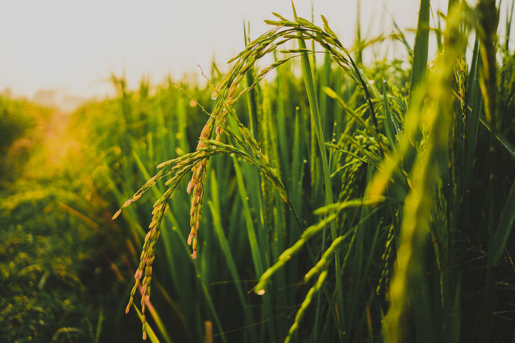 paddy Cereal Plant Agriculture Rural Scene Close-up Plant Green Color Sky Agricultural Field Farmland Rice Paddy Plant Life Rice - Cereal Plant Terraced Field Asian Style Conical Hat Growing Farm Satoyama - Scenery