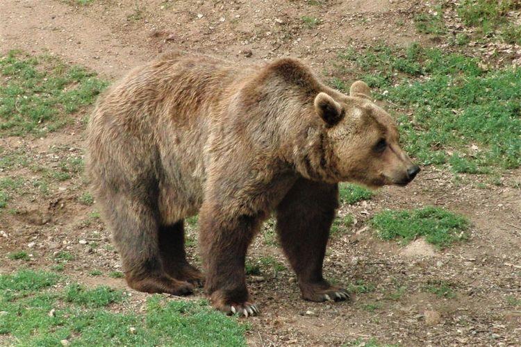 Bear Zoo Animal Animal Themes Brown Day Full Length Mammal No People One Animal Outdoors Standing Vertebrate Walking Zoology