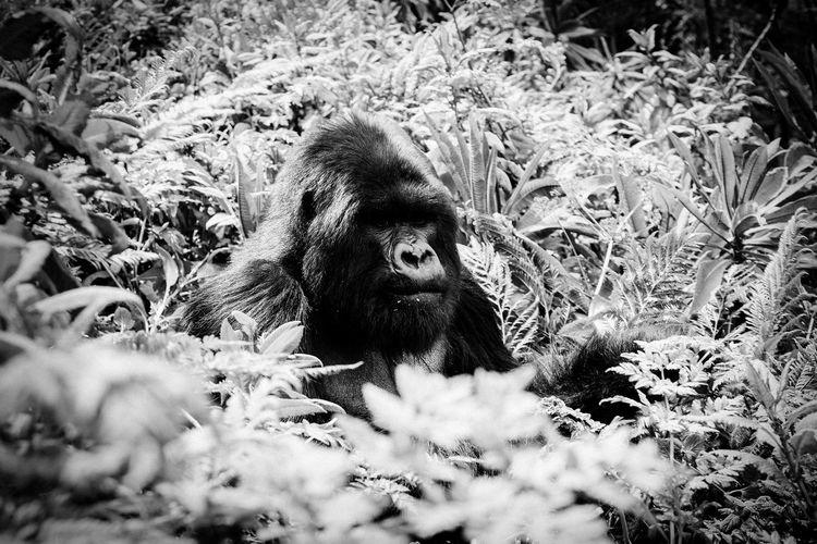 Close-up of gorilla amidst plants